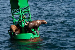 Stellar Sea Lions. A photo of several Stellar Sea Lions resting on a buoy in Prince William Sound off the coast of Alaska Stock Photos