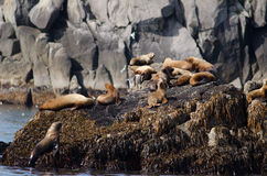 Stellar sea lions Stock Photos