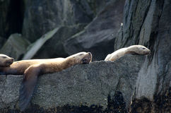 Stellar sea lions. Resting on a rock in Kenai Fjords National Park Royalty Free Stock Image