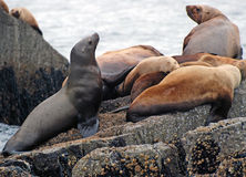 Stellar Sea Lions in Alaska stock images