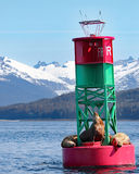 Stellar Sea Lions on buoy with snow capped mountains. In background. Juneau, Alaska royalty free stock photo