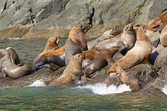 Stellar Sea Lions Crowding on a Rock Royalty Free Stock Photography