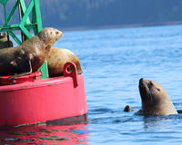 Stellar Sea Lions fighting over buoy. Stellar Sea Lions all trying to get a spot on a buoy floating in Juneau, Alaska royalty free stock image
