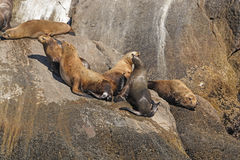 Stellar Sea Lions on a Remote Island Stock Photos