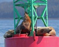Stellar Sea Lions resting on buoy Royalty Free Stock Photo