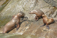 Stellar Sea Lions on a Rocky Coast Royalty Free Stock Photos