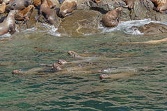 Stellar Sea Lions Swimming along the Shore Stock Photo