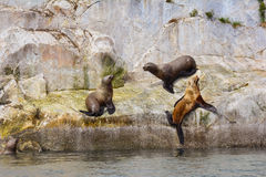 Stellar Sea Lions. Two male Stellar Sea Lions vie for dominance over a female lion on South Marble Island in Glacier Bay National Park, Alaska royalty free stock image