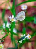 Stellaria de fleurs blanches Images stock
