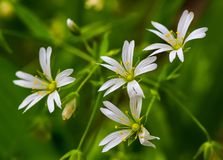 Stellaria de fleurs blanches Image stock