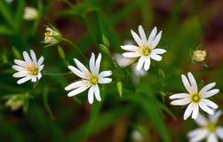 Stellaria dei fiori bianchi Immagini Stock