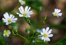Stellaria dei fiori bianchi Fotografie Stock Libere da Diritti