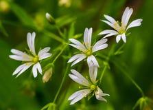 Stellaria dei fiori bianchi Immagine Stock