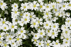 Stellaria flowers closeup Royalty Free Stock Photography