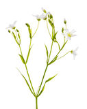 Stellaria flowers isolated on white Royalty Free Stock Image