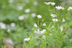 Stellaria holostea (Addersmeat, or Greater Stitchwort). White flowers Stellaria holostea on green blurred background closeup Royalty Free Stock Images