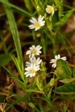 Stellaria Holostea för stor Stitchwort royaltyfria bilder
