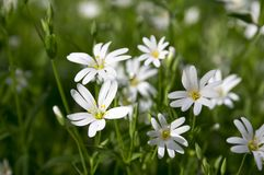 Stellaria holostea greater stitchwort perennial flowers in bloom, group of white flowers on green background. Stellaria holostea greater stitchwort perennial Royalty Free Stock Image