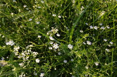 Stellaria holostea L. (chickweed) Stock Photography