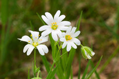 Stellaria holostea Stock Photo