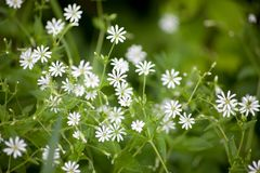 stellaria holostea Wildflower with white small blossom