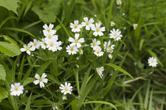 Stellaria media Stock Images