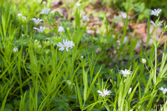 Stellaria media flowers Royalty Free Stock Images