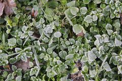 Frozen Leaves of Stellaria media plant in winter, covered with Icing. Stellaria media plant - leaves in winter, frozen and covered with icing Royalty Free Stock Images