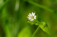 Stellaria media weed plant in flowering time. Wild Stellaria media weed plant in flowering time closeup royalty free stock image
