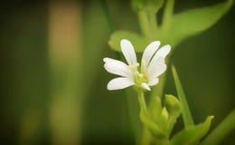 Stellaria środków kwiat Obraz Stock
