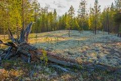 Stellaris di cladonia nella foresta polare Yamal immagini stock libere da diritti