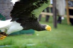 Stellars海鹰在飞行中在猎鹰训练术显示 免版税图库摄影