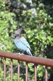 Stellars Jay Bird på ett staket Royaltyfria Bilder