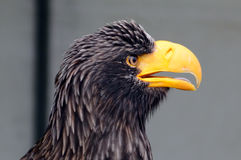 Stellars sea eagle portrait Royalty Free Stock Images