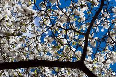 Stellata de magnolia Images libres de droits