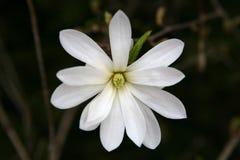 Stellata de magnolia Image libre de droits