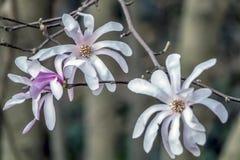 Stellata de magnolia, magnolia d'étoile photos stock