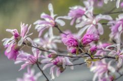 Stellata de magnolia, magnolia d'?toile images libres de droits