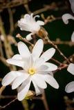Stellata della magnolia Fotografia Stock Libera da Diritti