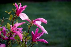 stellata magnolia Στοκ Φωτογραφία