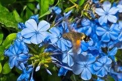 Stellatarum среди цветков Стоковая Фотография RF
