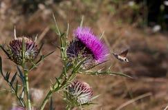 Stellatarum de Macroglossum de la Halcón-polilla del colibrí Imagen de archivo