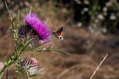 Stellatarum de Macroglossum de la Halcón-polilla del colibrí Fotografía de archivo