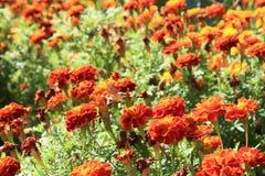 Stellatarum de soucis et de Macroglossum sur un jardin Photos libres de droits