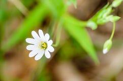 Stellate blommor för skogväxt i vår med vita blommor Arkivfoton