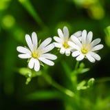 Stellate blommor för skogväxt i vår med vita blommor Royaltyfri Bild