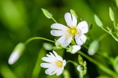 Stellate blommor för skogväxt i vår med vita blommor Royaltyfri Foto