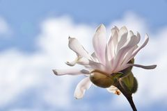 Stellate magnolia blossom glorious against mixed sky Royalty Free Stock Photos