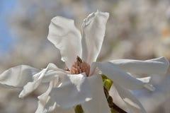Stellate magnolia blossom mimics origami bird Royalty Free Stock Photos