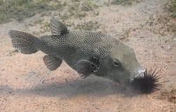 Stellate stellatus Arothron ψαριών καπνιστών, επίσης γνωστό ως sta Στοκ Εικόνες